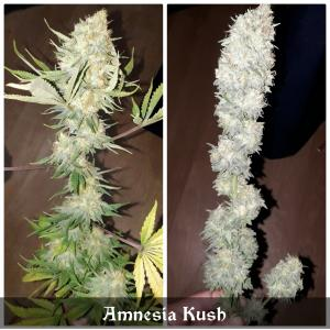 Photo de Amnesia Kush de Manuel