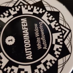 Photo of White Widow Autoflowering by Valerio