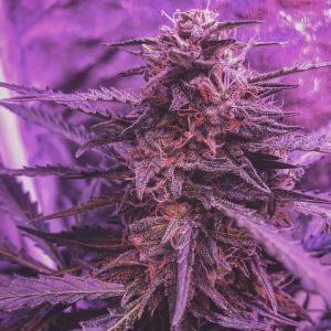 Photo of Blue Amnesia XXL Autoflowering by Dino