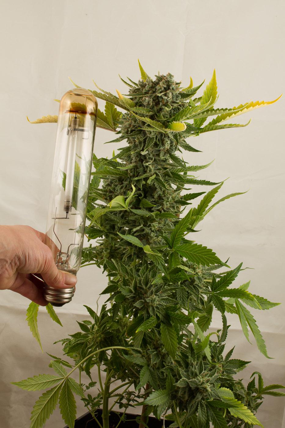 White Widow Autoflowering Buy White Widow Auto Cannabis Seeds