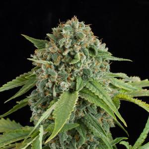 White widow autoflowering buy white widow auto cannabis seeds white widow autoflowering 2 mightylinksfo