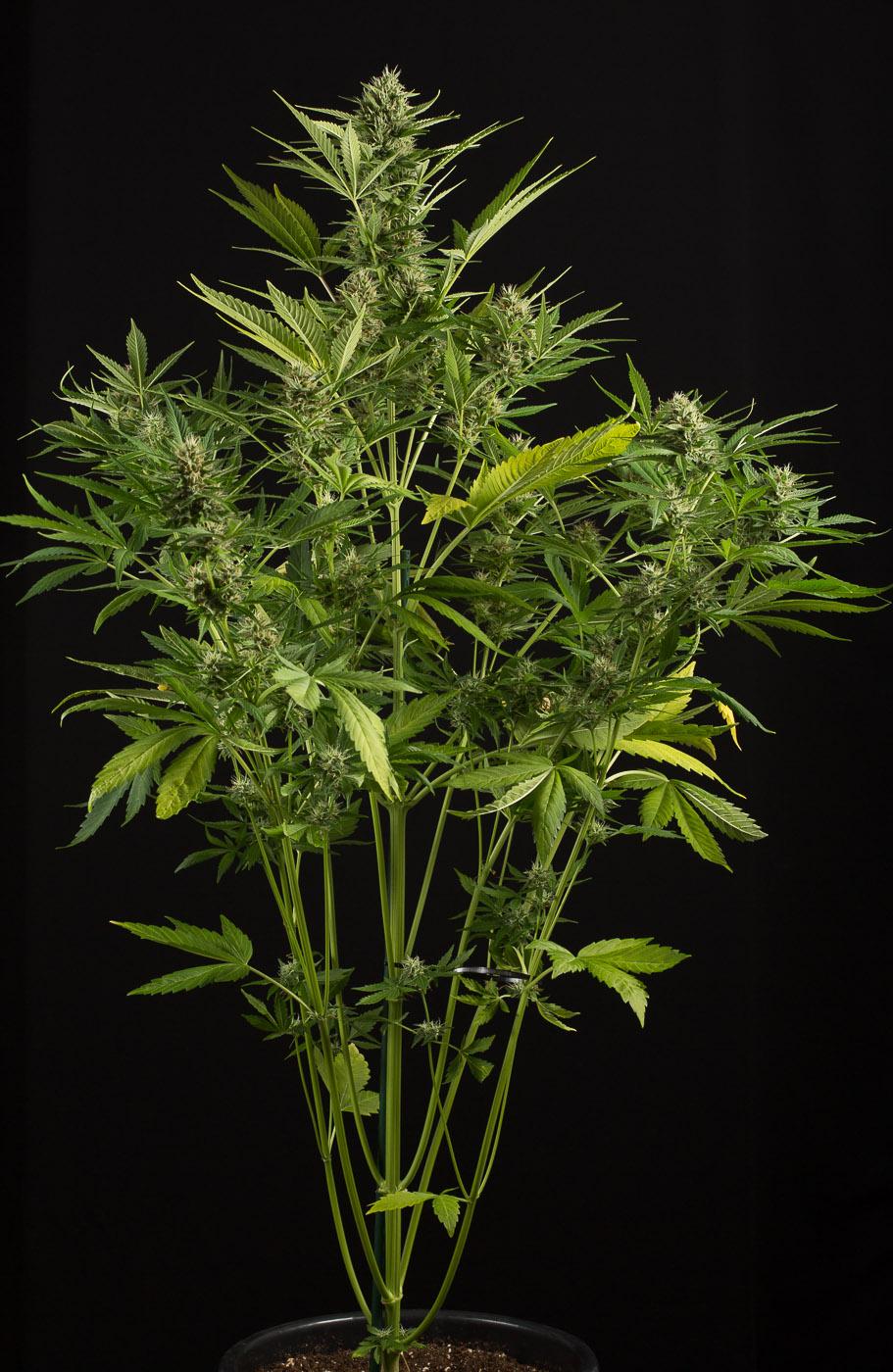 White Widow Xxl Autoflowering Buy White Widow Xxl Auto Cannabis Seeds