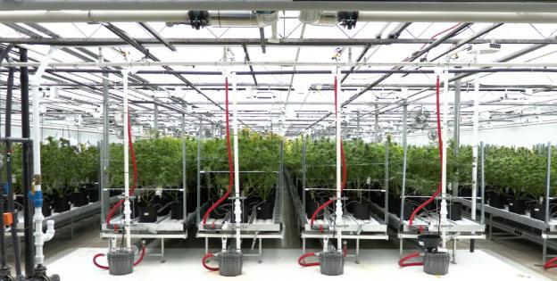 Cannabis Medicinal Cultivo Canada
