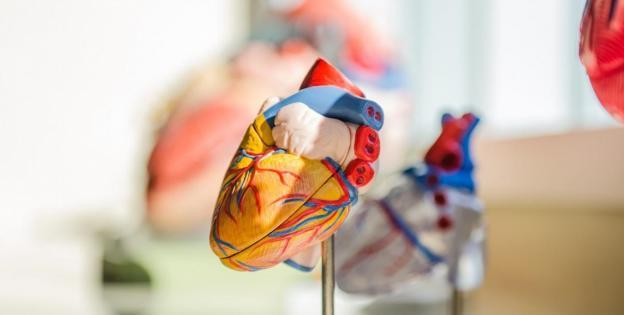 CBD para proteger nuestro sistema cardiovascular