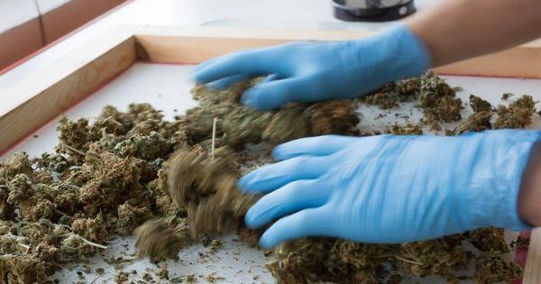 Cogollos Dinafem Seeds