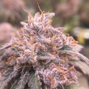 Photo of Purple Afghan Kush by CrimsonEcho