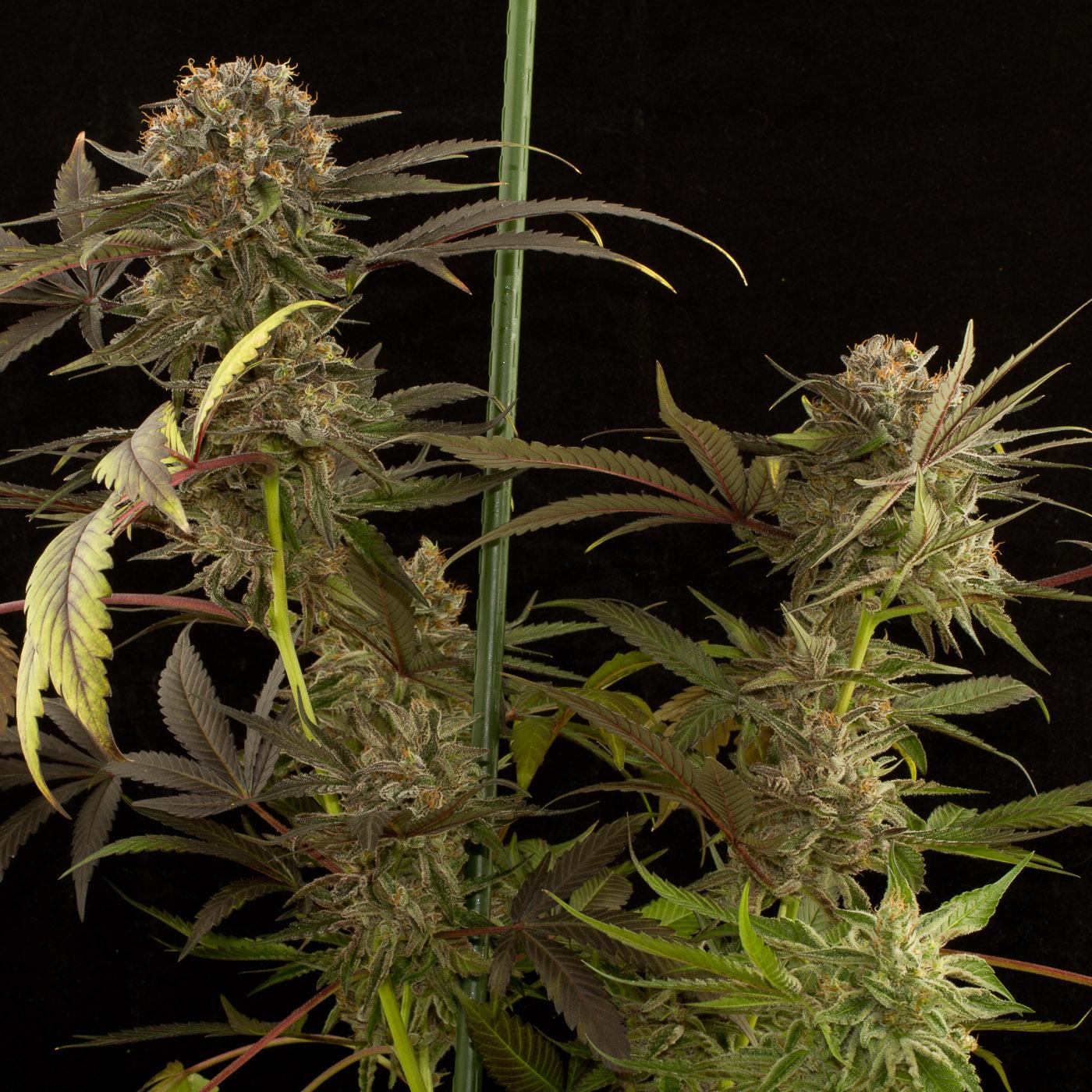Blue Kush – Buy Blue Kush feminized cannabis seeds