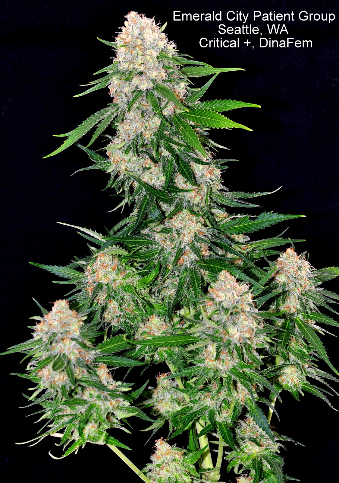 critical purchase critical feminized cannabis seeds