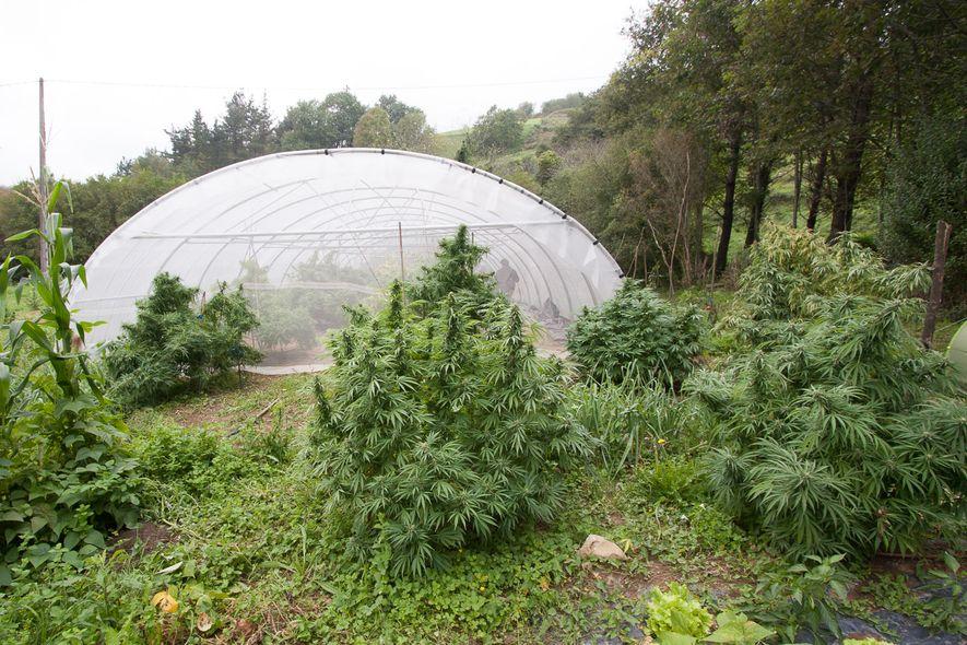 C mo proteger tus plantas de marihuana de las inclemencias for Meilleur engrais pour cannabis exterieur