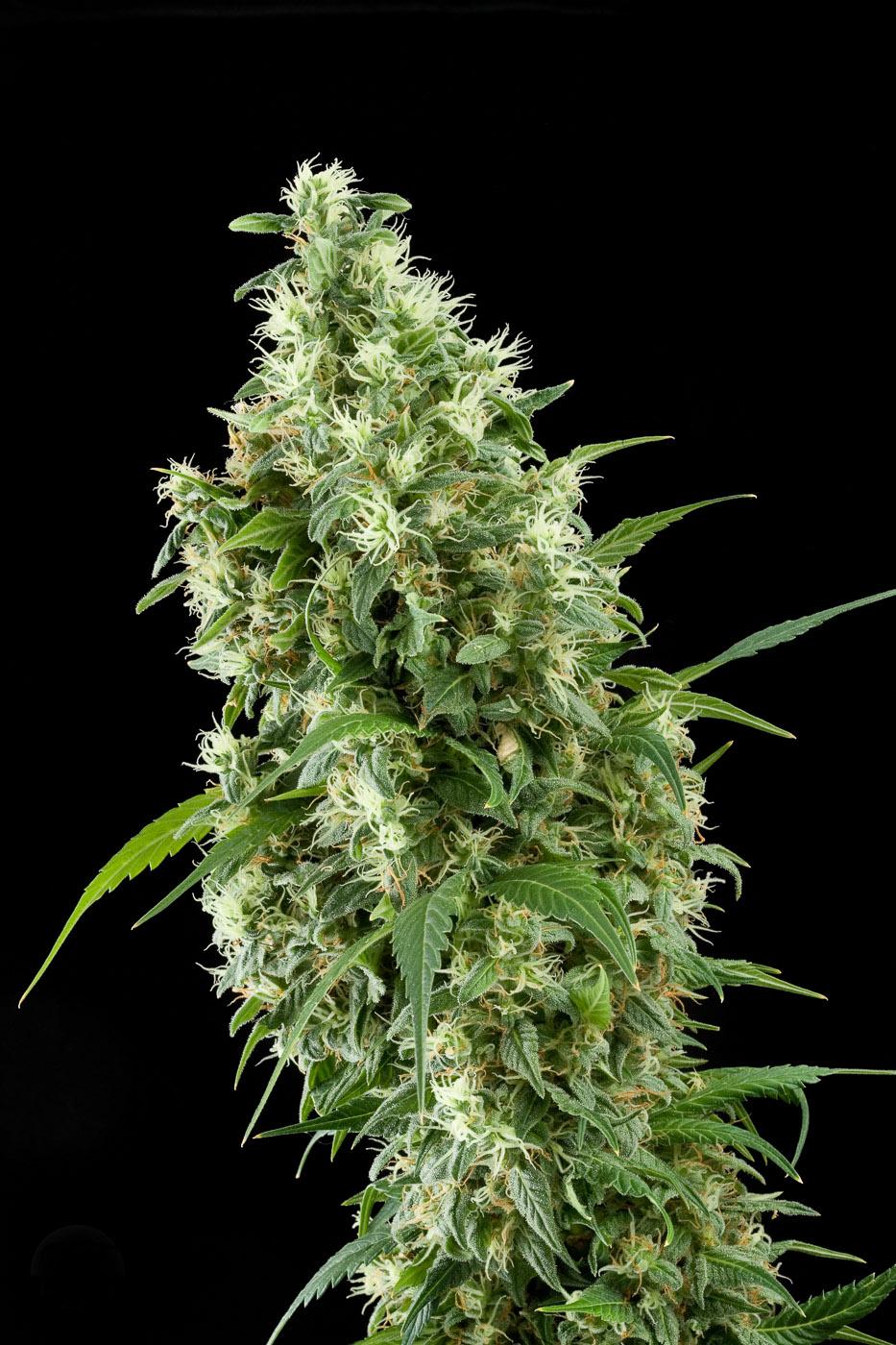 Super silver acheter des graines de cannabis super for Graines de cannabis exterieur