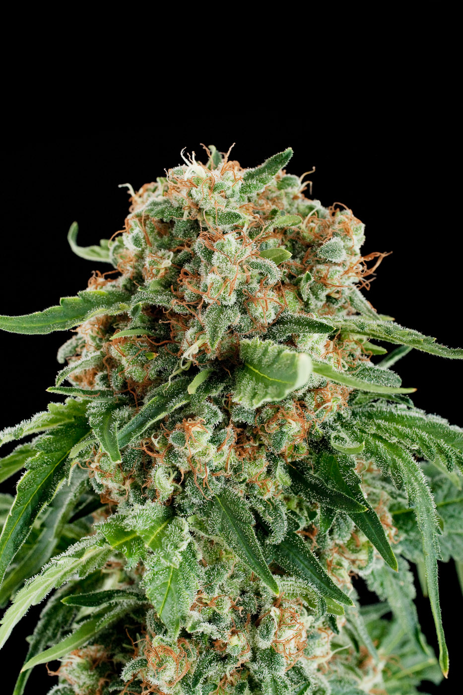White siberian acheter des graines de cannabis white for Graine de cannabis interieur