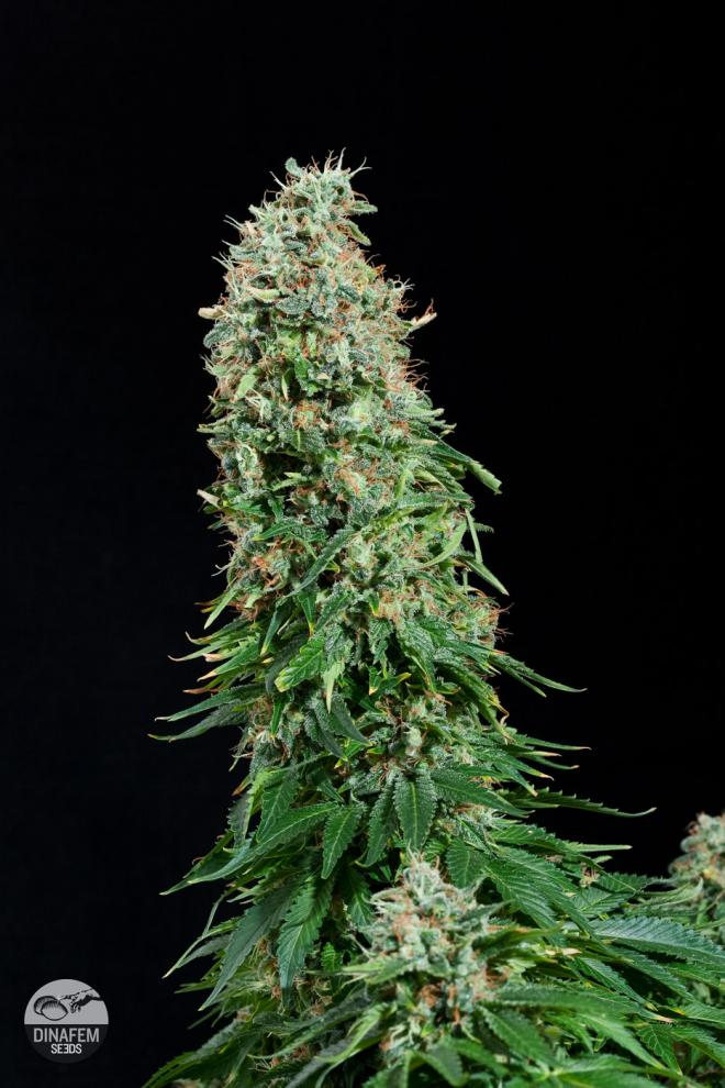 White siberian acheter des graines de cannabis white for Graine cannabis exterieur