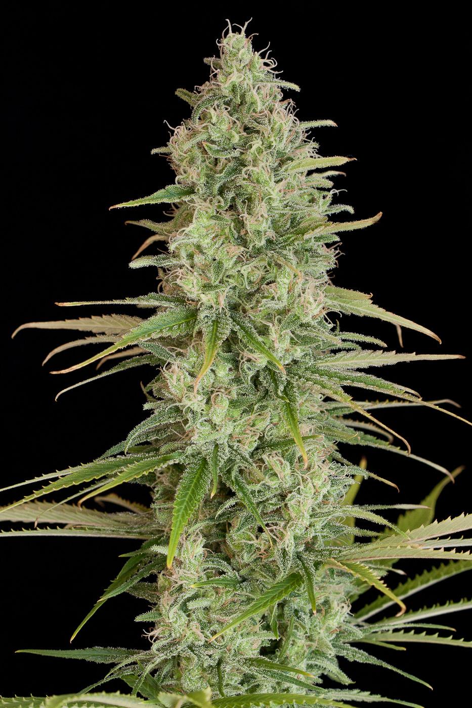 critical jack purchase critical jack feminized cannabis seeds