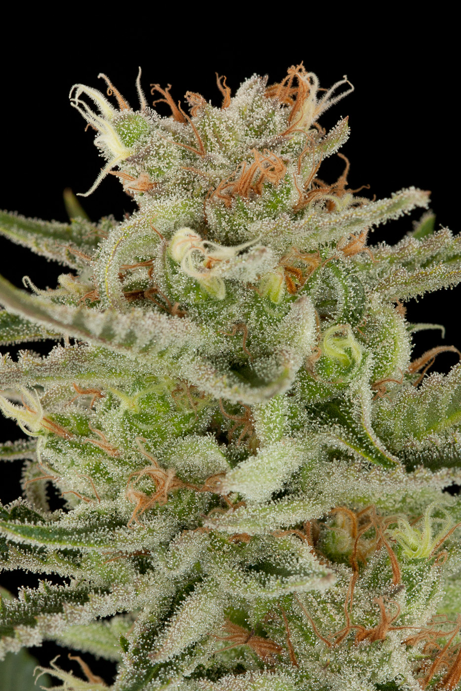 Original amnesia acheter des graines de cannabis for Graine de weed exterieur