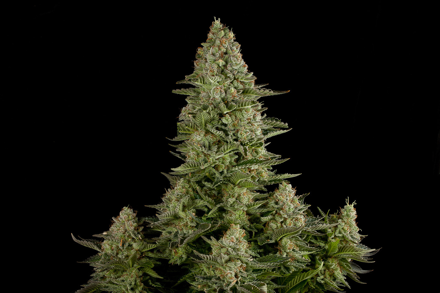 White Widow – Buy White Widow feminized cannabis seeds