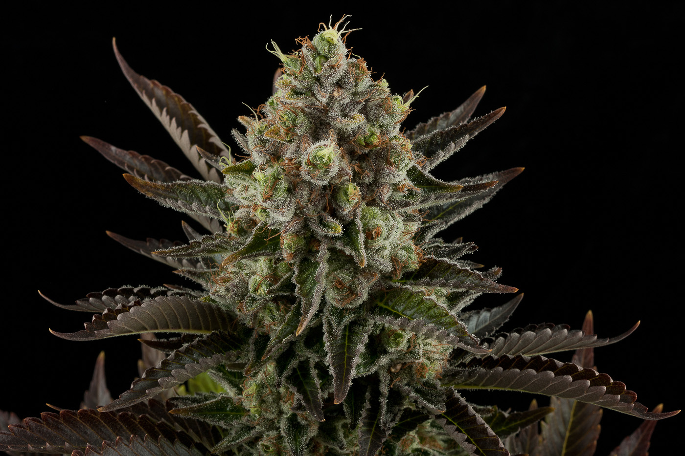 white widow weed marijuana - photo #21