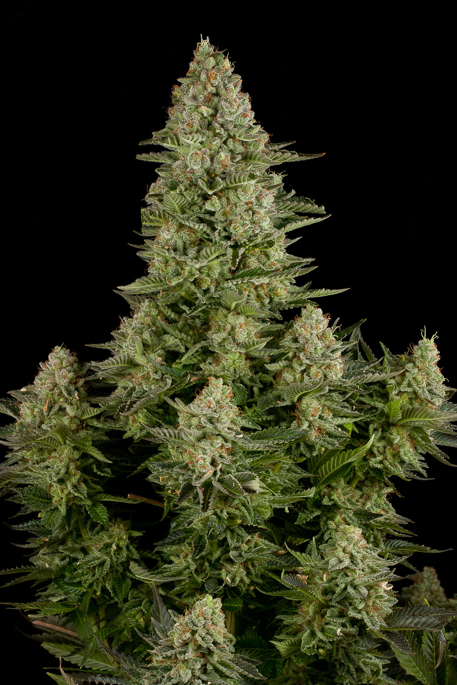 white widow buy white widow feminized cannabis seeds