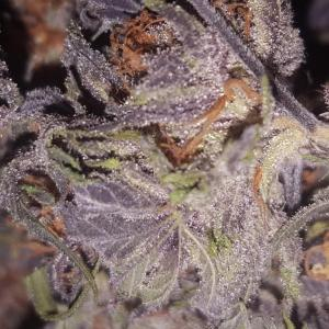 Photo of Purple Afghan Kush by Tibox
