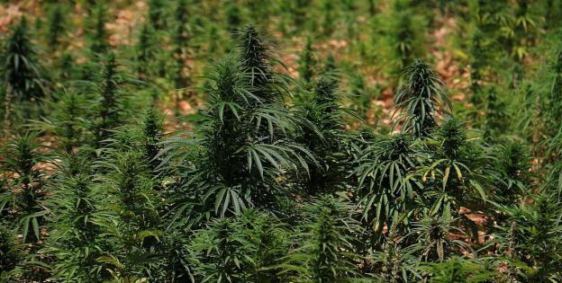 Campo de cannabis en Líbano