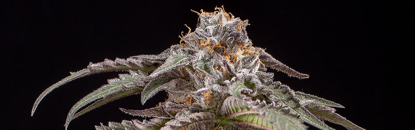 Purple Afghan Kush Dinafem Seeds