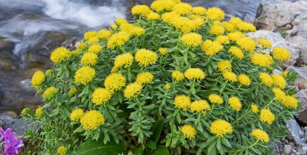 Rhodiola planta del mes Dinafem Seeds