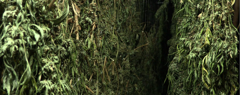 Come Seccare Le Piante come raccogliere, realizzare il trimming, essiccare e
