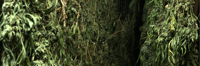Cogollos Buds Harvest Cosecha