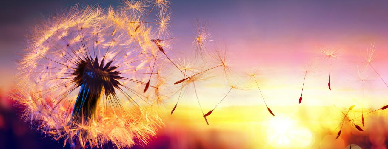 Plant of the month: Dandelion, cleansing and detoxifying