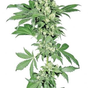 Afghani 1 acheter des graines de cannabis sensi seeds for Afghan kush exterieur