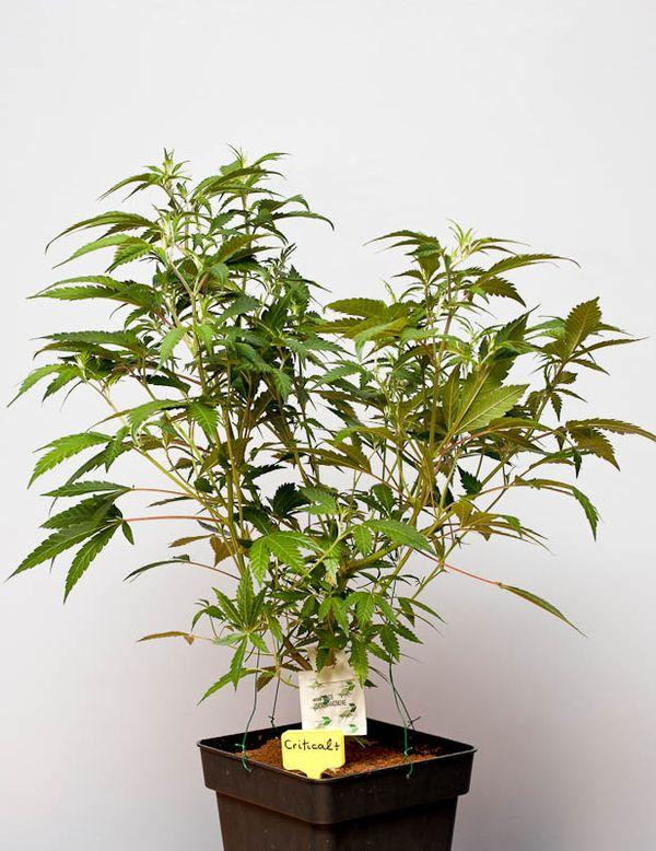 agua y riego del cannabis breves apuntes b si
