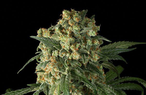 big kush cannabis variete feminnisee