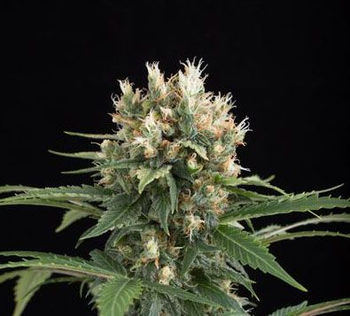 blue thai cannabis marijuana strain