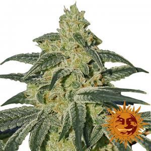 Afghan hash plant acheter des graines de cannabis barney for Afghan kush exterieur