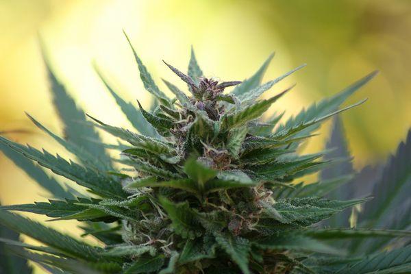 manuel guzman cannabinoides