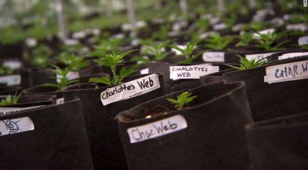 cannabis-para-tratar-el-autismo-aún-pocas-evidencias-científicas-pero-mucho-interés-por-parte-de-las-familias