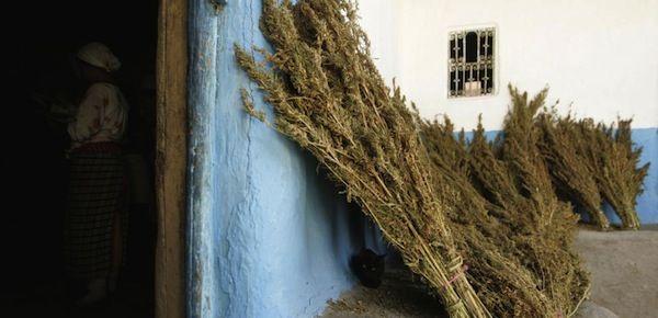 Preparation Pour Le Sechage Dans La Maison De Lun Des Recolteurs Cannabis Vallee Du Grand Rift Apres Recolte