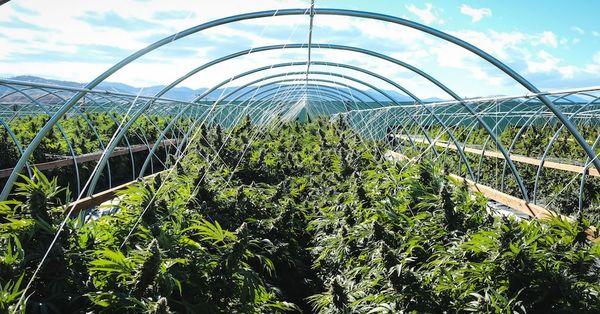 climatico coltivazione cannabis