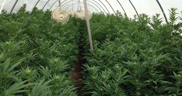 coltivazione organica vegana marijuana