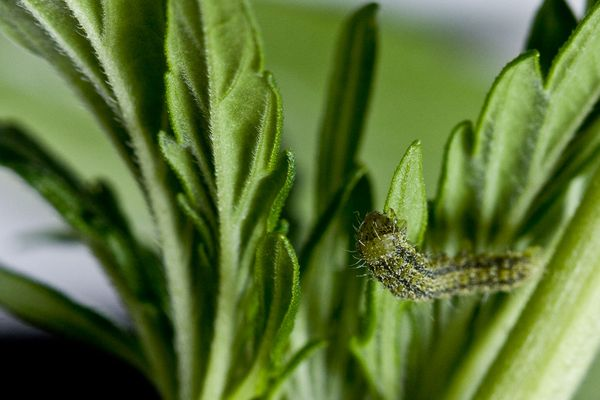 grow marijuana pest caterpillar