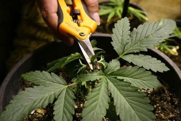 come potare cannabis