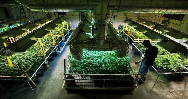 Coscienza cannabica coltivare verde