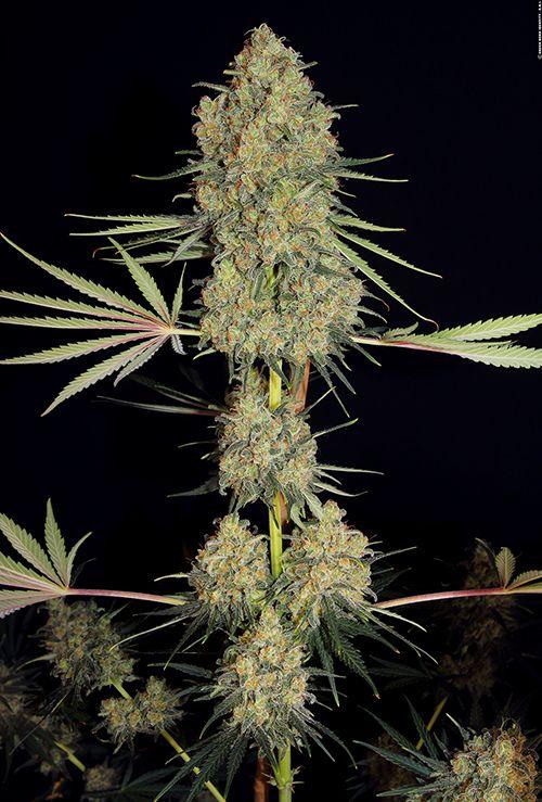 how to grow swiss cheese weed