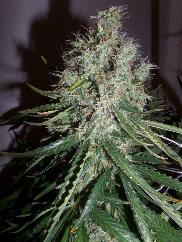 cultivo-moby-dick-xxl-auto-11_blog_cdn.j