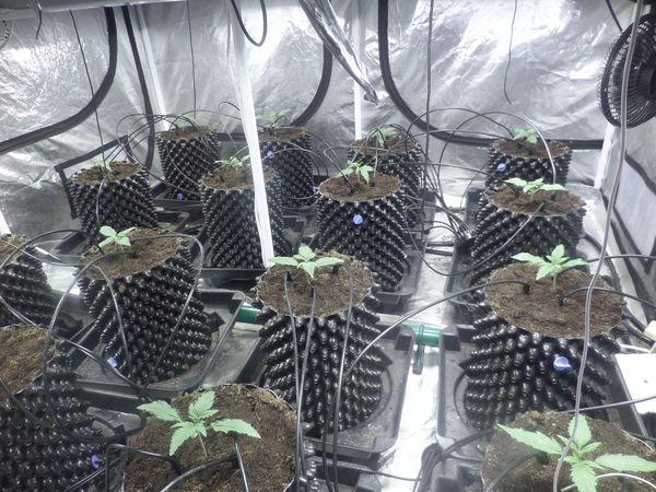 Extreme indoor autoflowering cultivation moby dick xxl auto for Armarios de cultivo xxl baratos