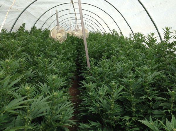 cultivo organico vegano marihuana