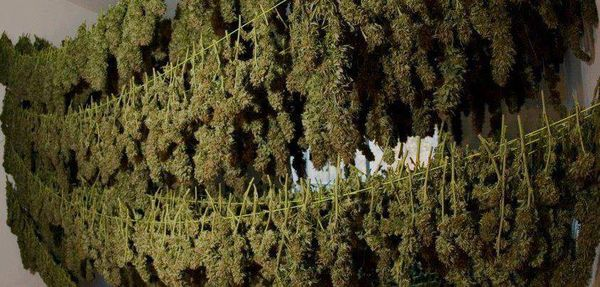 Drying and curing of fresh cannabis buds