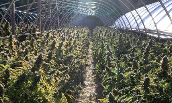 Mercado Cannabis principal