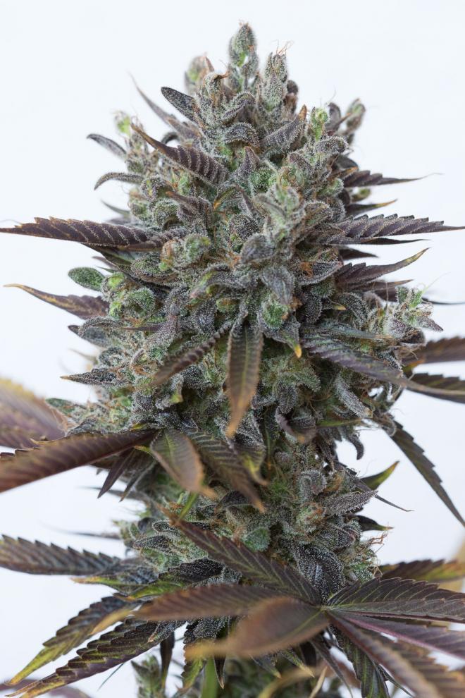 Purple orange cbd acheter des graines de cannabis cbd for Graines de cannabis exterieur