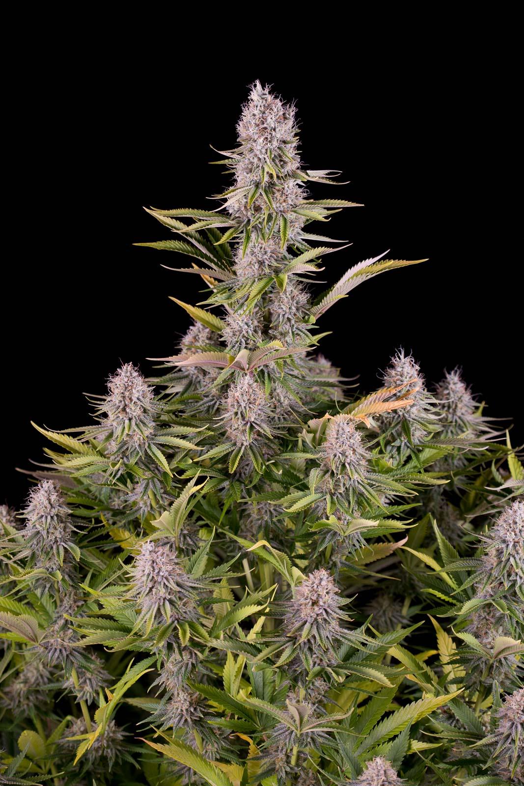 Amnesia Kush – Buy Amnesia Kush feminized cannabis seeds