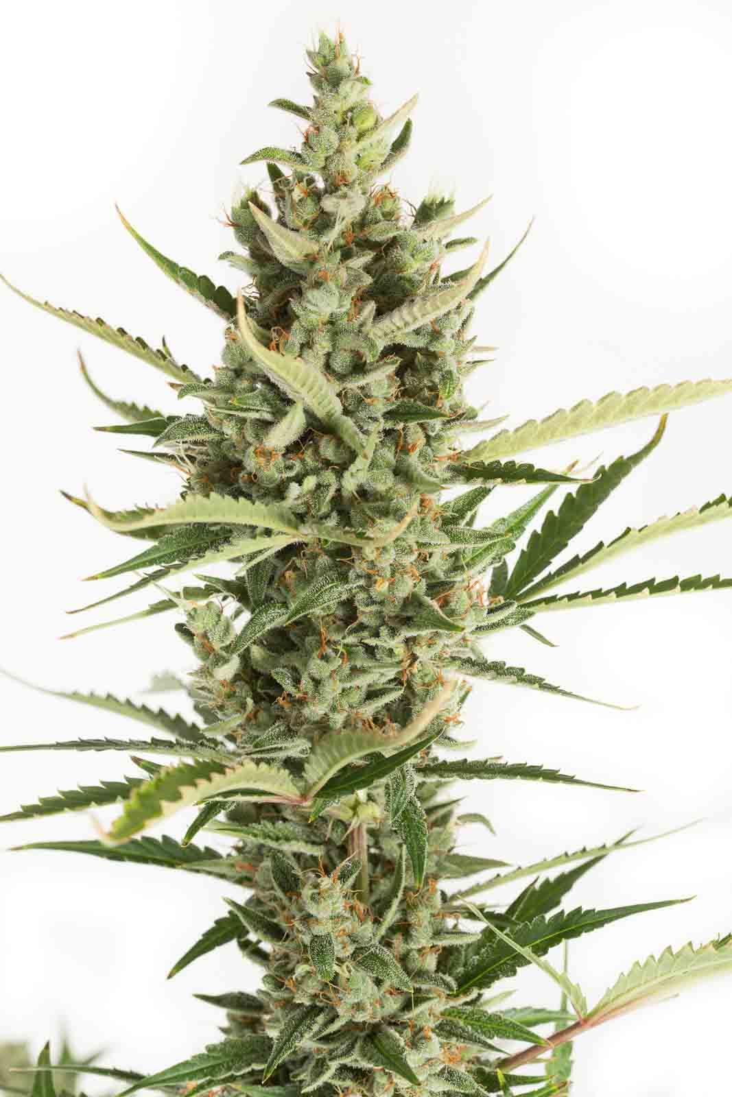 amnesia xxl autoflowering acquistare semi di marijuana auto amnesia xxl autofiorenti. Black Bedroom Furniture Sets. Home Design Ideas